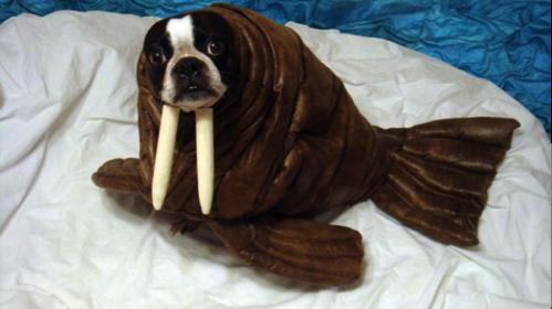 Un chien déguisé en morse