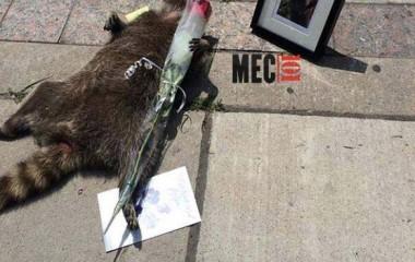 derniers hommages au raton laveur